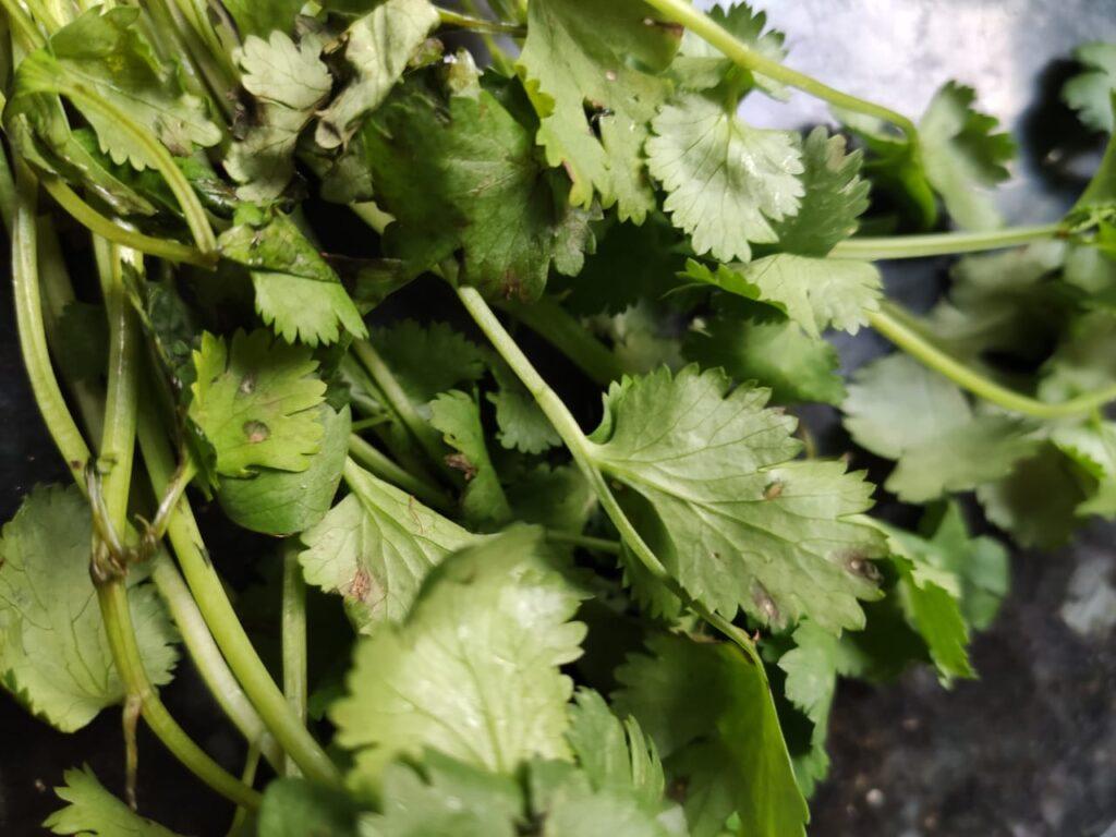 Gruit Mineiro pode ter coentro, tanto em folhas quanto em sementes, para um sabor da terra