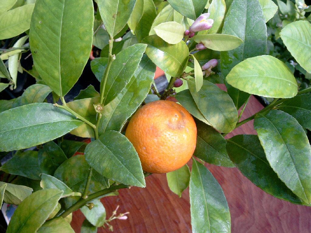 Folhas de limão capeta, super aromáticas para compor um gruit cervejeiro