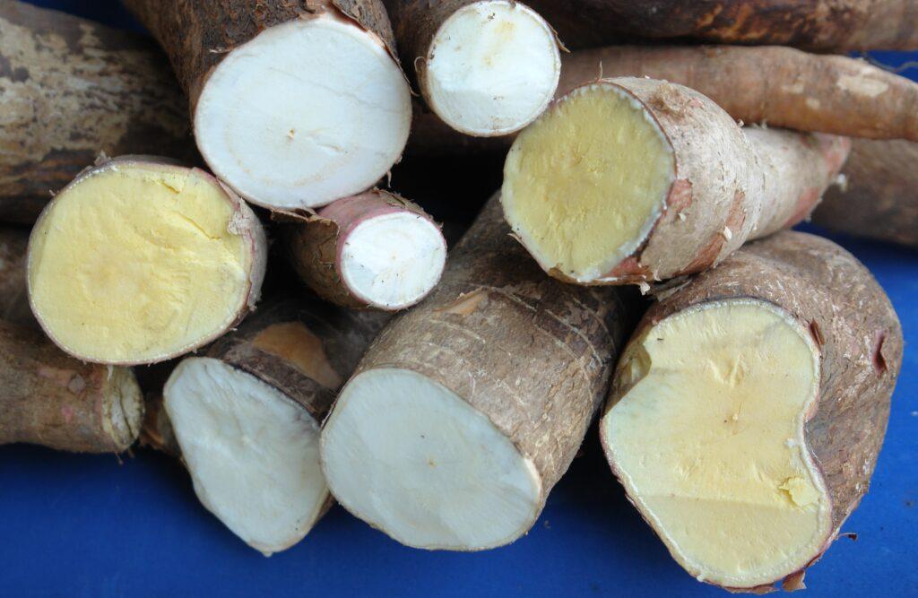 Mandioca, outro dos ingredientes regionais que se transformam em insumo cervejeiro